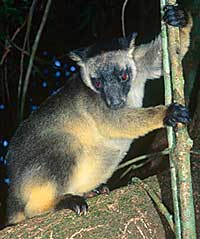 The rare Lumholtz's Tree-kangaroo